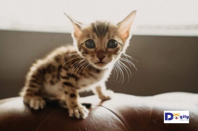 Bán mèo Bengal con tại Dogily Petshop. Tất cả mèo bán rađều có nguồn gốc phả hệ châu Âu. Bảo hành 1 đổi 1 tất cả các bệnh trong 30 ngày.