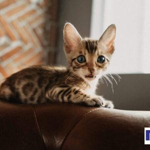 Mèo Bengal ngộ nghĩnh và dễ thương