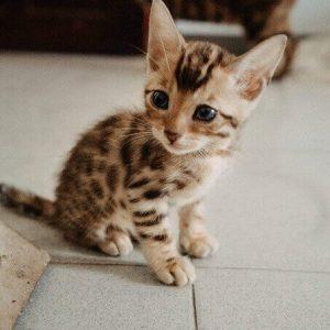 Bán mèo Bengal con 1 tháng tuổi tại Dogily Petshop.