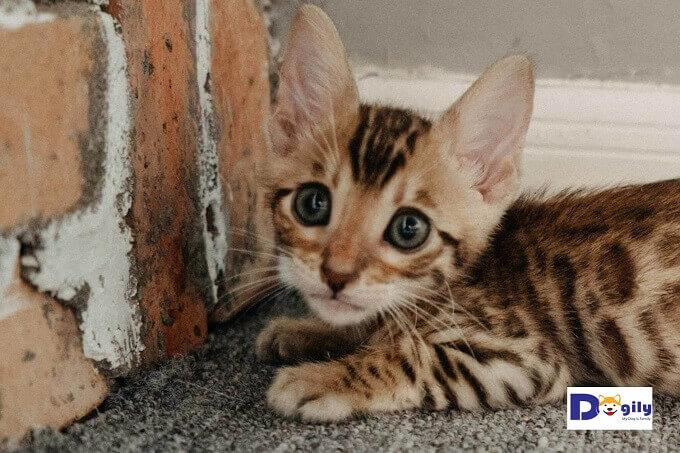 Đây là đàn mèo Bengal con cực đẹp. Màu sắc rõ nét đáng yêu.