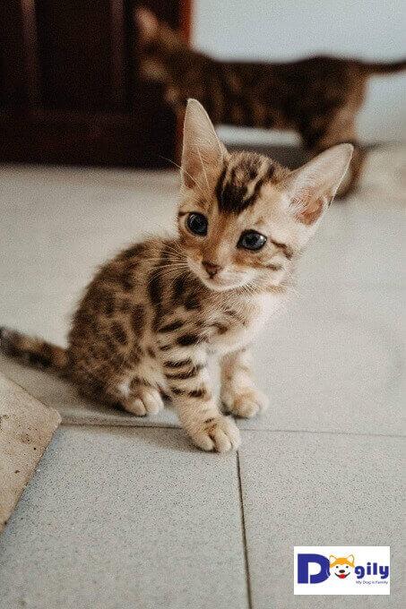 Bán đàn mèo Bengal 1 tháng tuổi cực dễ thương