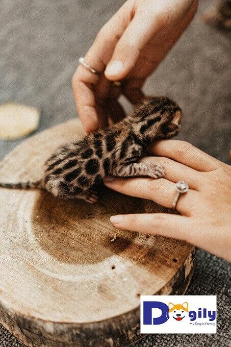 Mặc dù mới được 3 ngày tuổi. Nhưng Dogily Cattery dự đoán đây sẽ là đàn mèo đầy hứa hẹn. Họa tiết hài hòa và sắc nét. Bộ lông Brown đỏ được thừa hưởng từ cả bố và mẹ.