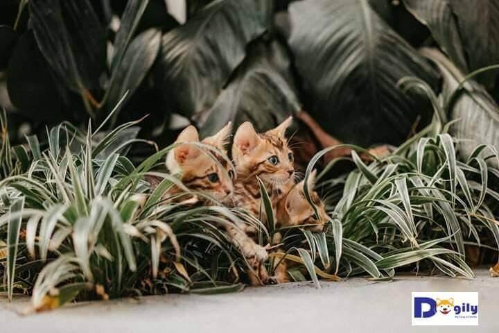 Đàn gồm 2 bé cái , 1 bé đực. Tất cả đều là Rossetted brown bengal đỏ cực đẹp và hiếm.