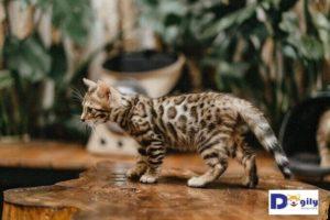 Bạn cần kiên nhẫn khi cho mèo Bengal con làm quen với ngôi nhà mới. Không nên quá vội vàng sẽ làm cho mèo con sợ hãi.