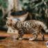 6 bước cần biết khi bắt đầu nuôi mèo Bengal con: