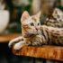 Sức khỏe mèo Bengal. Các điều kiện nuôi dưỡng đảm bảo sức khỏe tốt và những bệnh lý thường gặp.
