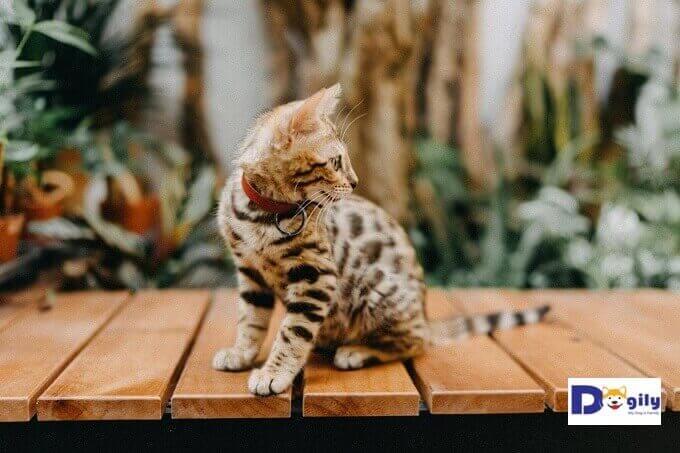 Hình ảnh mèo Bengal 3 tháng tuổi đang bán tại Dogily