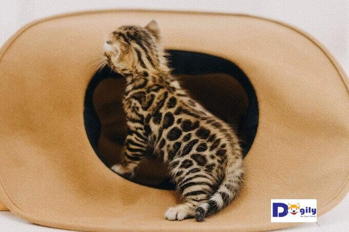 Bạn nên chuẩn bị đồ chơi và một nơi trú ẩn an toàn cho mèo Bengal con.