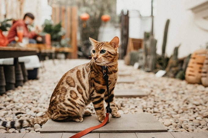 Các hỏi đáp về mèo Bengal thường gặp?