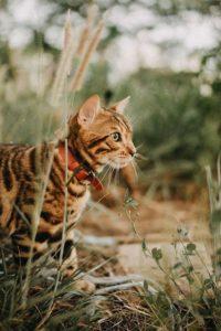 Mèo báo Bengal xuất hiện lần đầu vào những năm 1950s của thế kỷ trước
