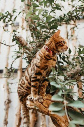 Tập tính mèo Bengal tương đối khác biệt. Tuy nhiên, trái với vẻ ngoài hoang dã. Là một em mèo cực kỳ ngọt ngào và tình cảm.