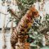 Tập tính mèo Bengal – Dogily Cattery