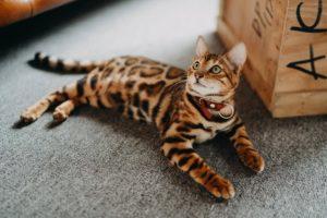 Bạn nên kết hợp việc chải lông với vệ sinh cơ thể (cắt mong, rửa tai, đánh răng) cho mèo Bengal. Bạn cũng cần tập cho chúng làm quen và thích thu với việc được vệ sinh ngay từ khi còn nhỏ