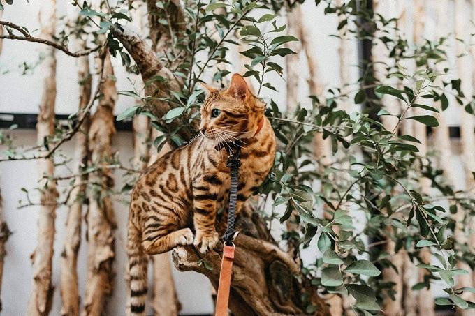 Mèo Bengal mang những đặc điểm về ngoại hình và thể chất của tổ tiên mèo báo châu Á. Nhưng về tính cách nó lại ngọt ngào, thân thiện như bất kì chú mèo nhà nào khác.
