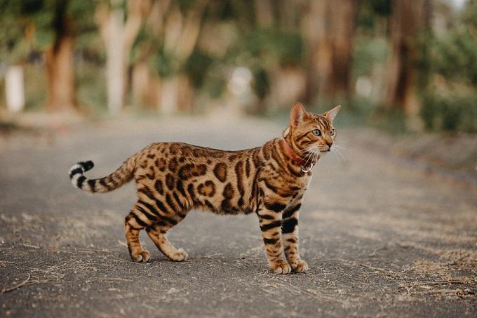 Chú mèo bengal tên Solomon đã đạt rất nhiều giải thưởng về ảnh đẹp quốc tế. Bức hình này của Solomon đã đạt giải ảnh đẹp trong ngày của Cộng đồng nhiếp ảnh gia và sáng tạo toàn cầu (link website:https://www.lookslikefilm.com/wp-content/uploads/2018/05/tran-le-duc.jpg) vào tháng 5/2018. Nhiếp ảnh gia: Trần Lê Đức.