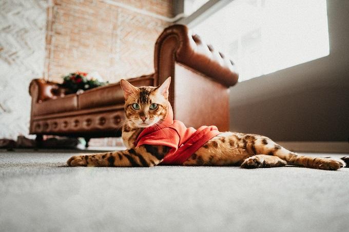 Thông tin giống mèo Bengal