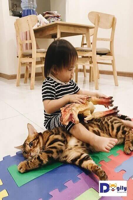 Mèo Bengal rất thích chơi đùa với trẻ em trong gia đình. Hình trên: Chú mèo đực giống Solomon vui đùa bên một em bé gái.