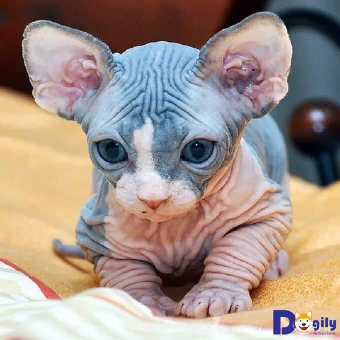 Mèo Sphynx giá dưới 20 triệu hầu hết là sinh sản trong nước.