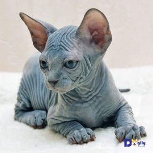 Bạn cần vệ sinh cẩn thận các nếp nhăn khi chăm sóc mèo Sphynx.