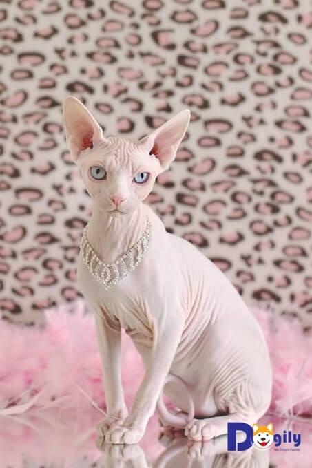 Tại Việt Nam, số lượng mèo không lông khá hiếm. Vì vậy giá bán mèo Sphynx Ai Cập khá cao so với mặt bằng chung các giống mèo khác.