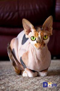 Mèo Sphynx không lông ngày nay có khá nhiều tên gọi. Ngoài tên gọi mèo Sphynx chúng thường được biết đến dưới các tên phổ biến sau: mèo Ai Cập, mèo nhân sư...
