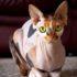Mèo Sphynx không lông (hay mèo nhân sư Ai Cập) | Mua bán mèo Sphynx giá bao nhiêu tại Dogily Petshop Hà Nội, Tphcm