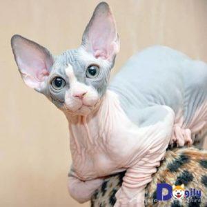 Sau Canada, mèo không lông cũng đã được phát hiện ở Hoa Kỳ vào giữa thập niên 1970s.