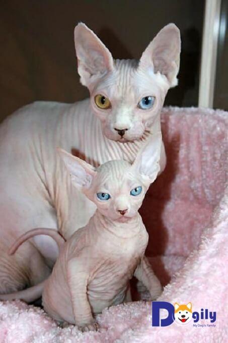 Bạn nên lựa chọn mua mèo không lông Sphynx từ những nhà lai tạo, người bán có uy tín. Tránh mua phải mèo nhân sư Ai Cập bệnh, tật lỗi.