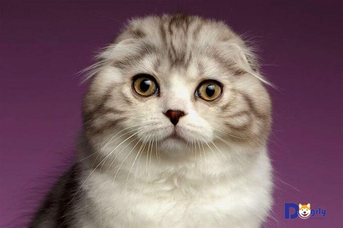 Mèo Scottish Fold chỉ xuất hiện tai cụp khi đã được 3 đến 4 tuần tuổi. Trước đó tai mèo con sơ sinh hoàn toàn thẳng bình thường.