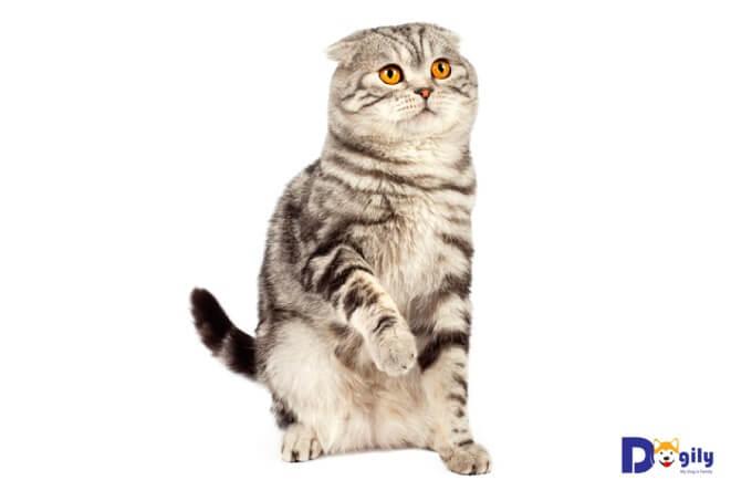 Giá mèo Scottish fold nhập châu Âu dao động từ 2.000 - 3.500 usd tùy phả hệ và chất lượng mèo con.