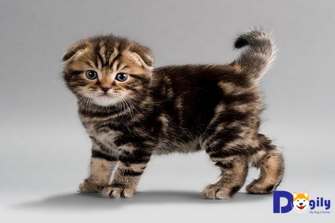 Giá bán mèo tai cụp con phụ thuộc vào rất nhiều yếu tố. Bao gồm: độ tuổi, nguồn gốc xuất xứ, màu lông, ngoại hình...