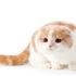 Mèo tai cụp scottish Fold | Thông tin cơ bản giống mèo | Giá mua bán mèo tai cụp hcm, hà nội bao nhiêu?