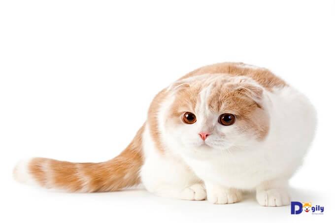 Hình ảnh một em mèo tai cụp Scottish fold thuần chủng tuyệt đẹp.
