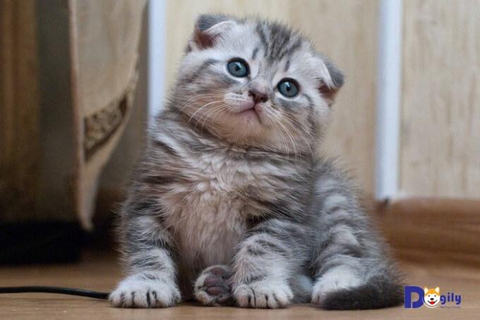 Mèo tai cụp giá từ 8-10 triệu đồng chất lượng tương đối ổn về ngoại hình và độ thuần chủng.