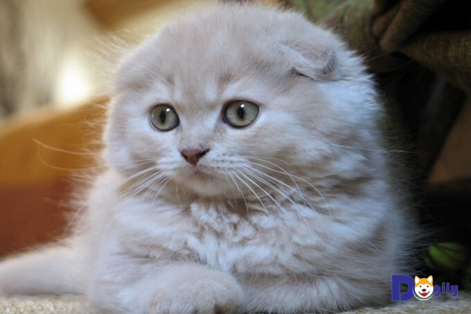 Giá mèo tai cụp Scottish fold phụ thuộc khá nhiều vào uy tín, sự chuyên nghiệp và chính sách bảo hành của người bán.