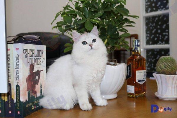 Mèo Anh lông dài Ald màu Silver nhà Dogily Petshop.