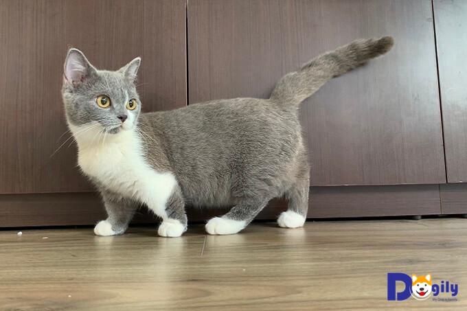 bán mèo munchkin chân lùng đẹp và quyến rũ