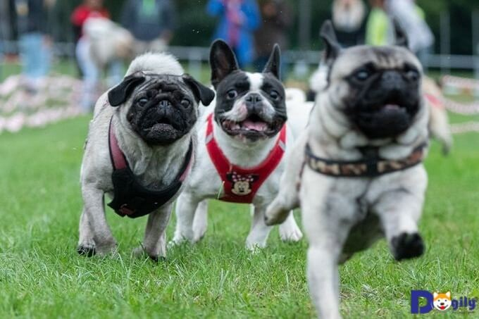 Mua chó pug có giấy tờ sẽ đảm bảo về tính thuần chủng của cún