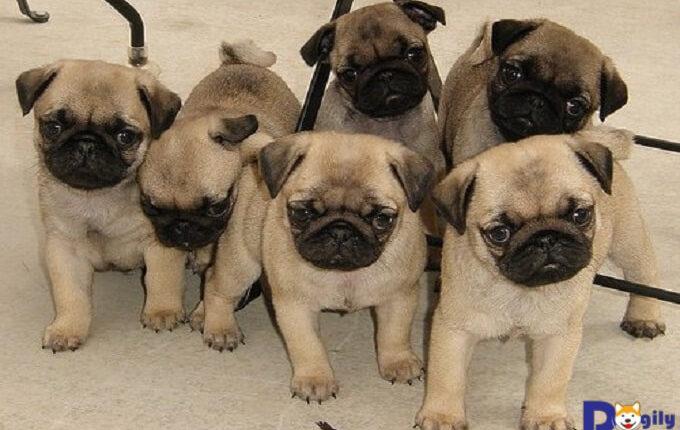 Những yếu tố ảnh hưởng đến giá cả của chó Pug