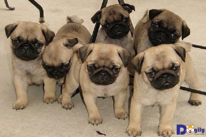 Các thông tin cần biết trước khi mua bán chó Pug giá rẻ