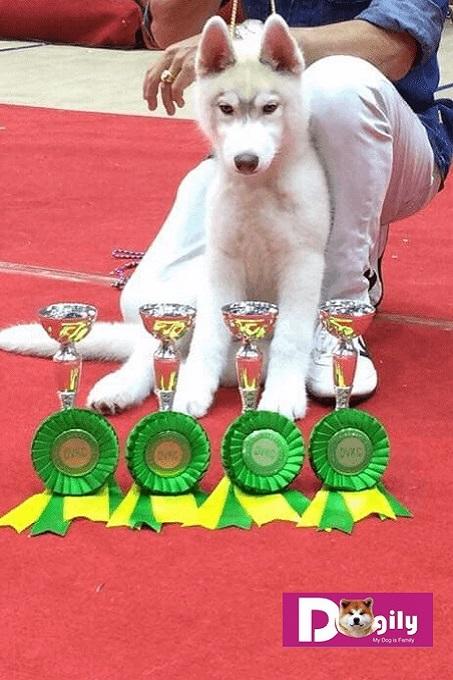 Bạn có thể mua chó Husky online thông qua mạng tìm kiếm Google hoặc trên Facebook.