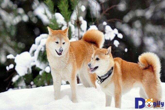 Những chú chó Akita ngoại nhập có giá cao hơn