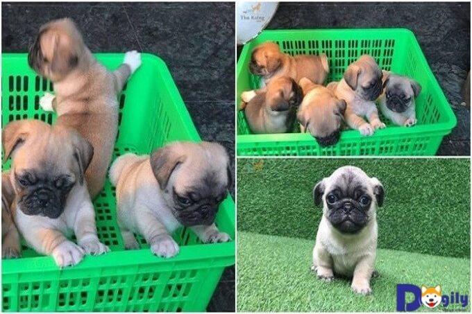 Ở mỗi giai đoạn phát triển khác nhau sẽ có cách chăm sóc chó Pug khác nhau