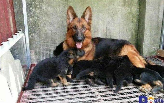 ở độ tuổi từ 2 - 3 tháng chó becgie cần được bổ sung đầy đủ dinh dưỡng để phát triển toàn diện