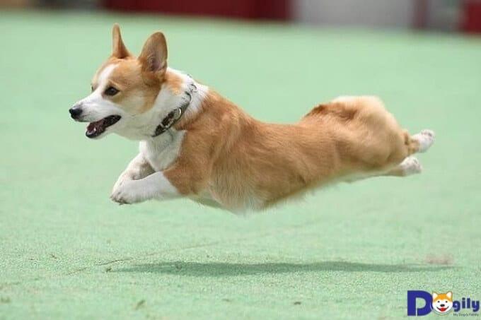Bạn nên giữ môi trường và các vật dụng cho chó corgi luôn sạch sẽ.