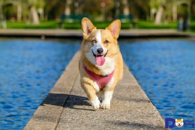 Bạn nên sấy khô ngay sau khi tắm cho chó corgi xong.