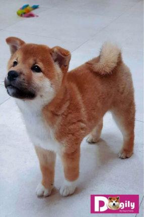 Bạn chỉ nên mua bán chó Shiba Inu từ 2 tháng tuổi trở nên. Đã được tiêm phòng đầy đủ.