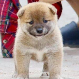 Bán chó Shiba tại Dogily Petshop.