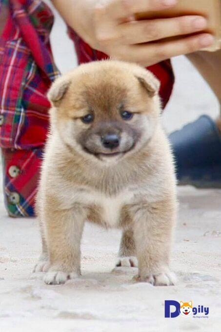 Bán đàn chó Shiba Inu cực dễ thương tháng 5.2019