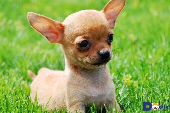 Cách phòng chống bệnh hạn đường huyết cho chó Chihuahua
